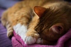 Ginger Cat de sono adorável Fotos de Stock