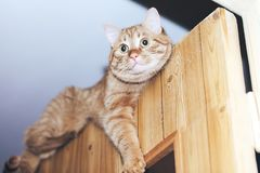 Ginger Cat on the Door at Home. Ginger Cat at the Top of the Door at Home stock photography