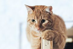 Ginger Cat on the Door at Home. Ginger Cat at the Top of the Door at Home stock images