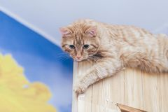 Ginger Cat on the Door at Home stock images