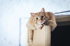 Ginger Cat on the Door at Home. Ginger Cat at the Top of the Door at Home royalty free stock photography