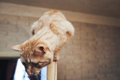 Ginger Cat on the Door at Home. Ginger Cat at the Top of the Door at Home royalty free stock photo