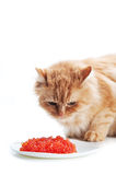 Ginger cat eat red caviar Royalty Free Stock Photography