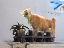 Ginger Cat Eating Leaf foto de archivo libre de regalías