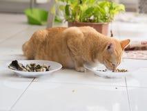 Ginger Cat Eating van Plaat stock afbeelding