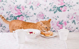 The ginger cat eats breakfast. Cookies, cottage cheese and milk. Country breakfast on the table. Cat Thief. Royalty Free Stock Photos