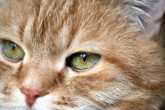 Ginger Cat Eye Arkivfoto