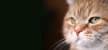 Ginger Cat Eye. The important decision of my ginger cat. His portrait on dark background Stock Photography