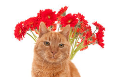 A ginger cat face in front of red African daisies Stock Image