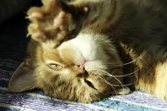 Ginger cat falls after sleep stock images