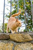Cat about to jump from the fence. Ginger cat on a fence about to jump to caught something royalty free stock images