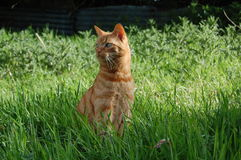 Ginger Cat stock photography