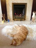 Ginger Cat in front of a fire. Ginger Cat lying on a fluffy rug in front of a fireplace Royalty Free Stock Photos