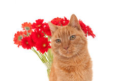 Ginger cat in front of red African daisies Royalty Free Stock Photo