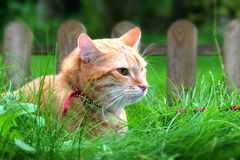 Ginger cat in the garden. A young cat focus at something Stock Images