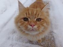 Ginger Cat foto de archivo