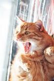 Ginger Cat geeuwt stock afbeelding