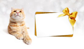 Ginger cat and gift card with golden ribbon bow  on whit Royalty Free Stock Photography