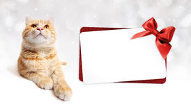 Ginger cat and gift card with ribbon bow Isolated on white Royalty Free Stock Image
