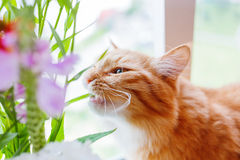 Ginger cat gnaws leaves of flowers in bouquet. Stock Photos