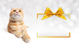 Ginger cat and golden gift box frame with ribbon bow Royalty Free Stock Photography