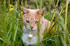 Ginger cat in the grass Royalty Free Stock Photo