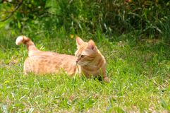 Ginger cat, in a field, looking mischievious stock images