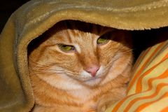 Ginger cat hidden under blanket. Green eyes ginger cat. Puss in boots. stock image