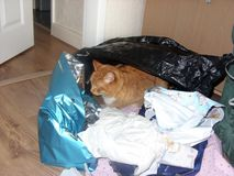 Ginger Cat Hides Amongst Gift-Wrapping Arkivfoton