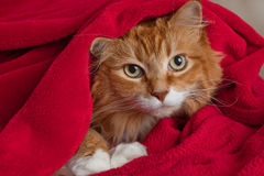 Ginger Cat Hiding in Blanket Stock Photo