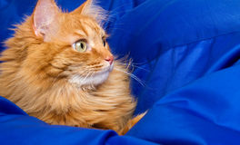 Ginger cat hiding in a blue blanket Stock Photo