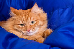 Ginger cat hiding in a blue blanket Stock Image