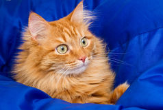 Ginger cat hiding in a blue blanket Stock Photos