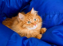 Ginger cat hiding in a blue blanket Royalty Free Stock Photos