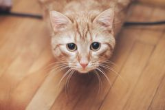 Ginger Cat at Home. Ginger Hair Red Cat at Home royalty free stock photo