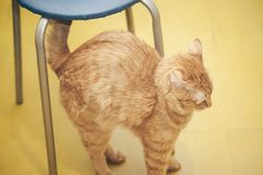Ginger Cat at Home. Ginger Hair Red Cat at Home royalty free stock image