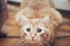 Ginger Cat at Home. Ginger Hair Red Cat at Home stock photography