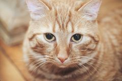 Ginger Cat at Home. Ginger Hair Red Cat at Home stock photos