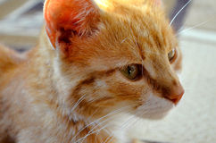 Ginger cat Royalty Free Stock Photos