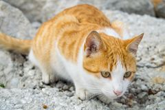 a ginger cat on the hunt stock photo