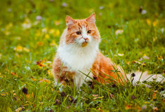Ginger cat hunting a bird. Red cat hunts for a bird at the Gatchina Palace Park Royalty Free Stock Photography