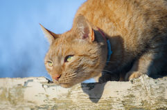 Ginger cat hunting Royalty Free Stock Photography