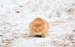 Ginger cat hunts Royalty Free Stock Photography