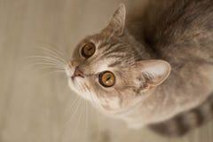 Ginger Cat fotografia stock
