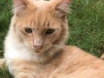Ginger Cat lizenzfreies stockbild