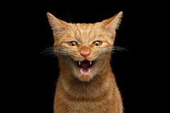 Ginger cat on Isolated Black background. Portrait of Aggresive Mad Ginger Cat with opened mouth screaming on Isolated Black background, front view Stock Photo