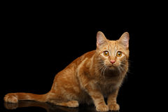 Ginger cat on Isolated Black background. Ginger cat sitting and Stare on Isolated Black background Royalty Free Stock Photos