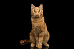 Ginger cat on Isolated Black background. Ginger cat sitting and Stare on Isolated Black background Stock Photography