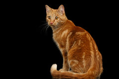 Ginger cat on Isolated Black background. Ginger cat sitting and Stare at side on Isolated Black background, back view Stock Images