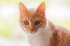 Ginger Cat isolated over defocused background. Animal portrait. Royalty Free Stock Photography